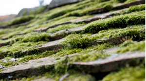 upclose moss on roof